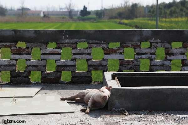 2013年3月15日,嘉兴市竹林村无害化处理池旁,一头等待入池的死猪。 (刘有志/图)