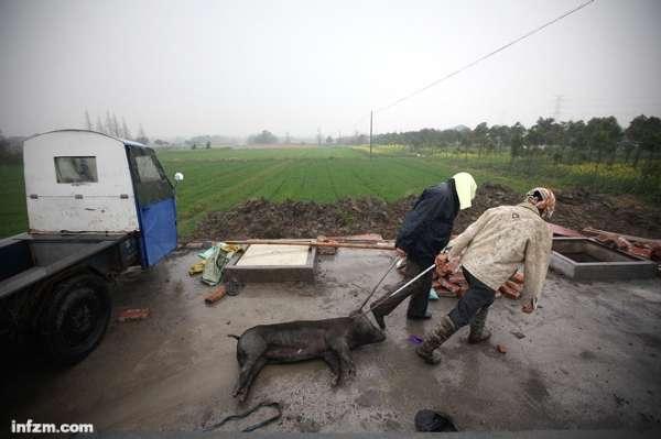 工人正在搬运死猪,这段时间嘉兴严防死守,严控死猪入河。 (南方周末记者王轶庶/图