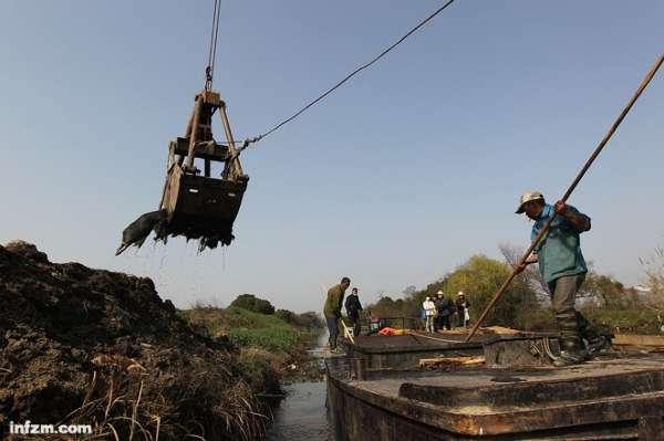 2013年3月15日,工人用吊船上的吊臂将打捞上船的死猪投到坑内。 (刘有志/图)