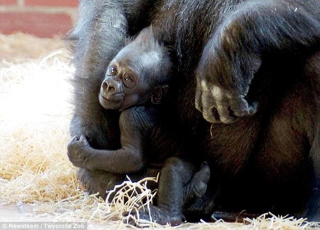 向动物园捐赠了一只名为乌姆贝(oumbie)的银背大猩猩