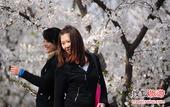 北京赏花指南 2013玉渊潭樱花节