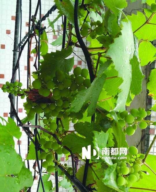 而适合在阳台种植的攀爬类植物依据攀扶能力和方式