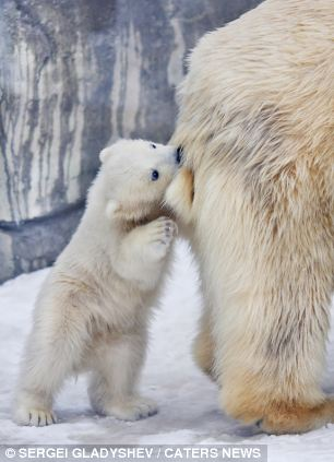 北极熊照片_小北极熊咬住妈妈尾巴求关注遭熊抱(组图)-搜狐滚动