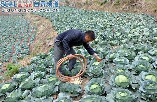 无成2毛荣县自贡3万斤莲花白烂地里均价本远年级景色写作文小学三图片