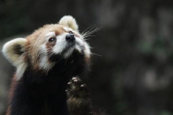 濒危动物小熊猫面露微笑:萌态十足(组图)(1)