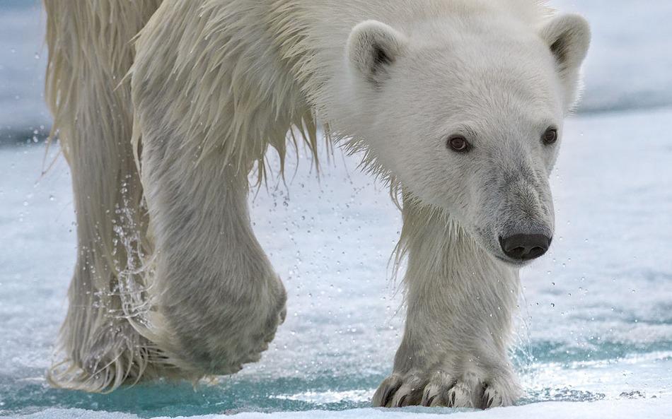 北极熊:北极食物链顶层的动物\/组图