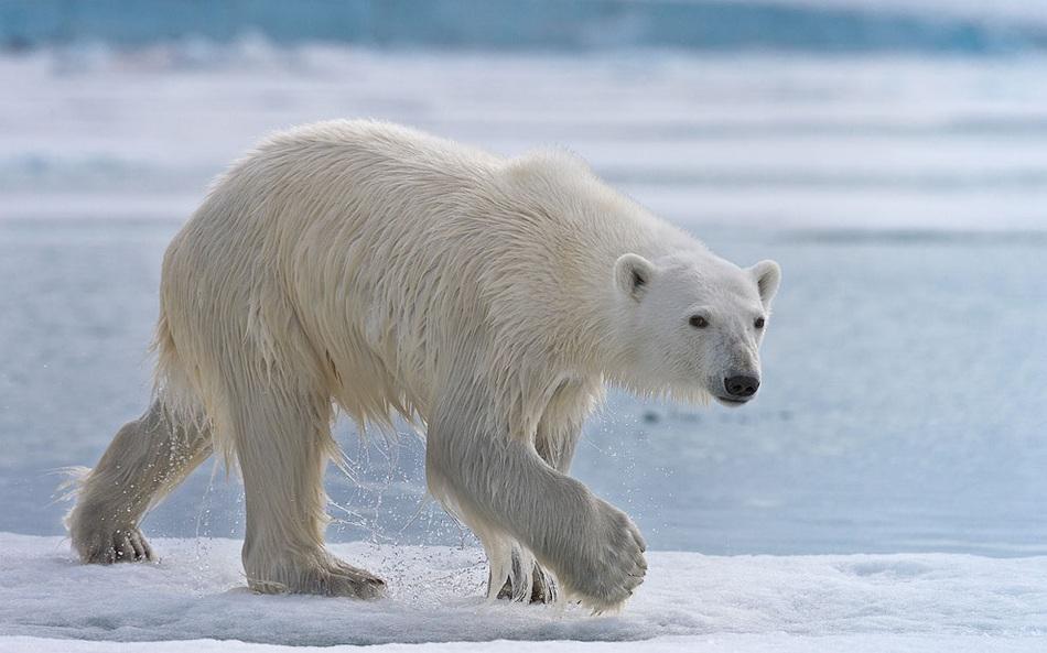 探秘北极熊:马路是犬类7倍(嗅觉)续写年级过组图三蜗牛图片