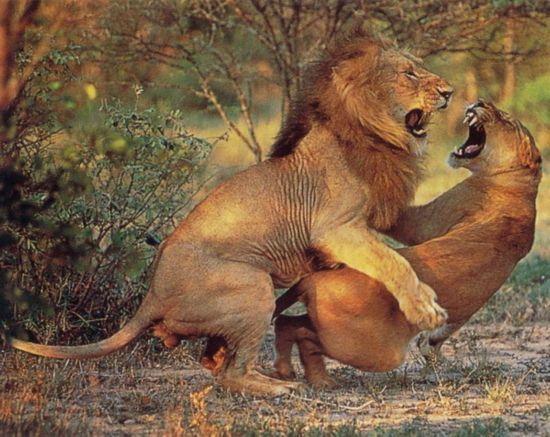 人与动物性行为_在奇趣大自然中动物性行为比起人类已经规范化了的,被道德与