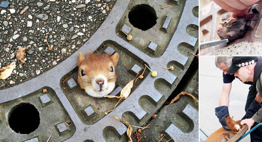 松鼠被卡下水道井盖孔 警察施救脱困图片