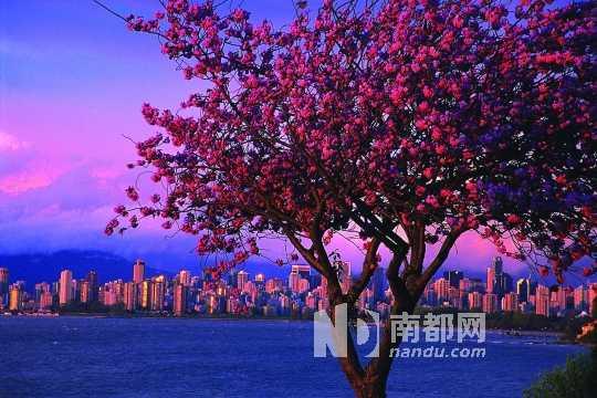 当广州遇上不列颠哥伦比亚省时,是否也能上演一出春光明媚的喜剧?如果说北京遇上西雅图只是现代城市苦逼生活的调味品,让一直幻想着奢华生活的都市白领在爱情面前醒悟过来的话,那么,当广州遇上不列颠哥伦比亚的时候,最好是家庭一齐出游,徜徉于春夏花园王国之中,每一位家庭成员都能出演公主与王子的角色。   加拿大不列颠哥伦比亚的省徽上早已设立了箴言:B eautyw ithout end,自然天成美景无限。这奠定了一切遇见的基调。家庭出游最重要的是大家都能各取所需,玩得其所,旅途美景不能忽略了某一位家