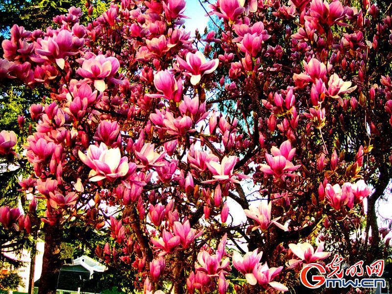 大红大紫,红得亲切,紫得可爱!美国的春天记录着我一段段寄遇的故事,细细看我拍摄每一帧图片,我在追求有内涵与层次感的变化,对立与统一色阶的和谐,将绘画的立体感、色彩感、结构与造形都融入图片中,更加耐看、更有诗意。每天我都拿起相机,追着春天脚步走,我的心灵先到达那个地方,将最美好的一瞬间留下来,与读者分享我的快乐。春天会唤醒我无穷的创作的欲望,生机无限啊!