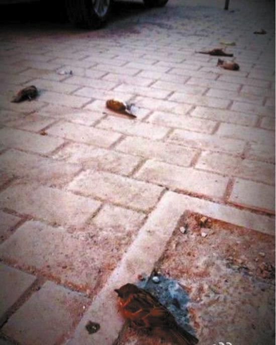 6日,南京一小区,路边玉兰树不停掉下死麻雀东方IC