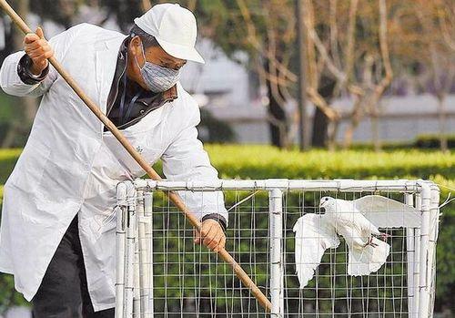 上海卫生人员前天起在公园捕捉鸽子送交化验,以确认是否感染H7N9。法新社