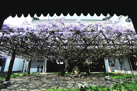 据悉,该紫藤树种植于宋代中期,距今已有千年历史.