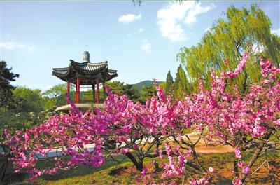 北京植物园的桃花灿烂绽放