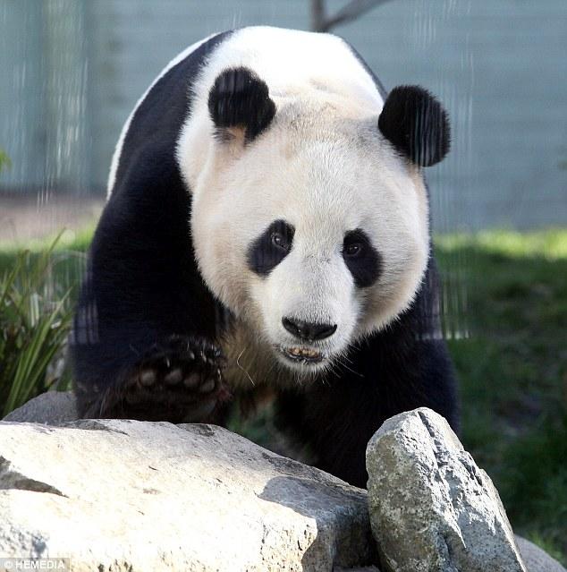 英动物园大熊猫配对前阳光下放松(组图)(1)_宠物频道