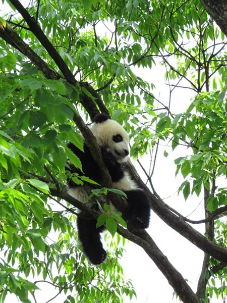 受惊吓的小熊猫坐在树上四处张望
