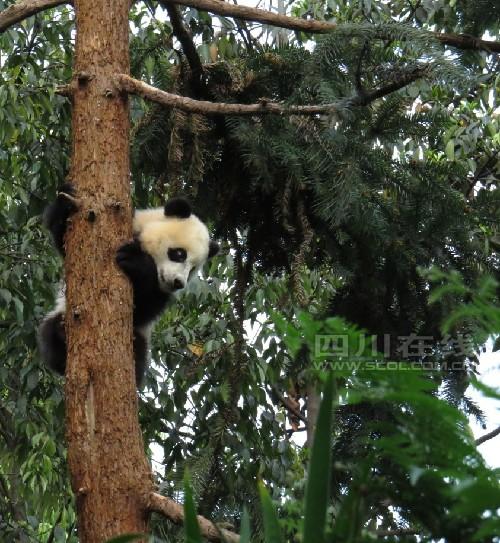 大熊猫研究中心碧峰峡基地60余只大熊猫情绪稳定