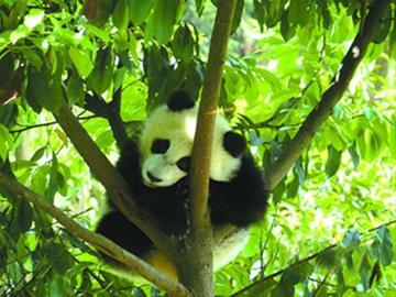 碧峰峡基地大熊猫平安无事 CFP供图