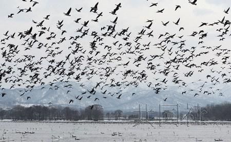 北海道白额雁集体觅食场景