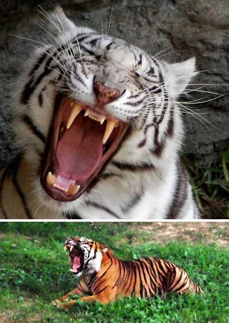 盘点难得一见动物打哈欠照片:超萌超可爱(图)(1)_科学