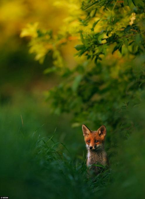 一只红狐狸穿行于草地之上,步伐警觉,这张照片获得2013年自然摄影师大赛的最佳照片荣誉。摄影师Hermann Hirsch。