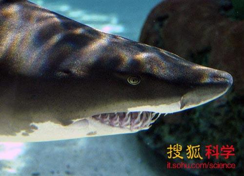 揭秘鲨鱼胚胎自相残杀 维护 父亲 地位