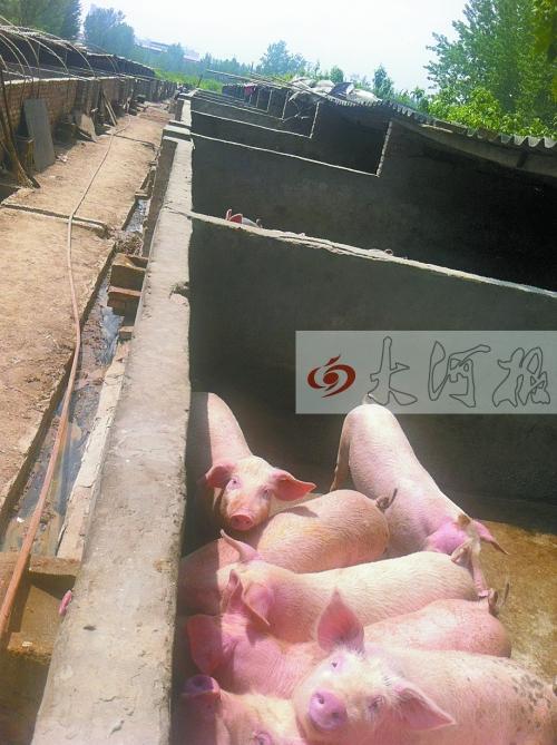 沿线养猪场的生产污水成污染源之一
