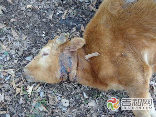 这两次,珲春市林业局野生动物损害补偿管理办公室林的杨军都去了