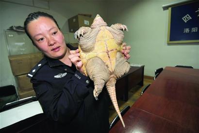 """乌龟 五花大绑/昨日中午,一只半米长的大乌龟被人""""五花大绑""""后,用棍子挑着..."""