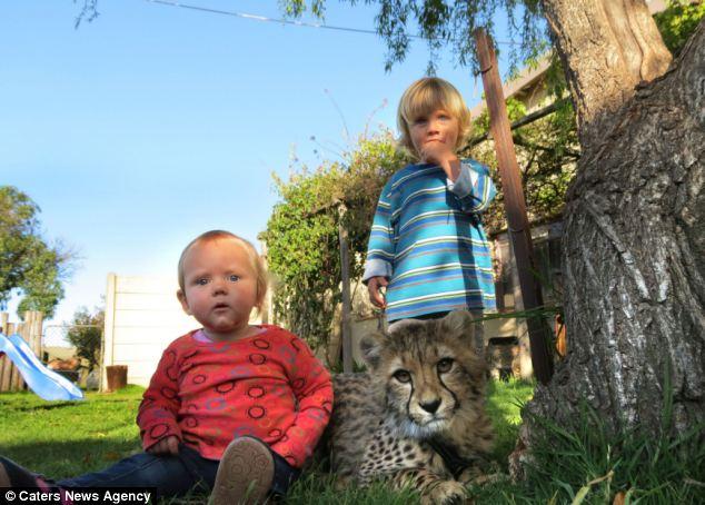 【猎豹是陆地上奔跑最快的动物,它们的速度迷人而致命。英国《每日邮报》5月8日以《打赌我跑得比你快》为题,报道了发生在南非的一对小兄妹与两只猎豹之间的温馨故事。   图中这两只跟主人一起兜风、一起嬉戏的猎豹神情安详,它们分别被主人爱称为瓦考和思概拉。两只猎豹的小主人是3岁的小男孩马兰和他1岁的妹妹凯拉。2012年,瓦考和思概拉出生在南非西开普敦省花园大道野生动物园。它们的妈妈一次生下了四个宝宝,由于猎豹妈妈一般只能照顾一半数量的幼崽,瓦考和思概拉便被马兰的爸爸妈妈收养,并在接下来的时光里与这一家人