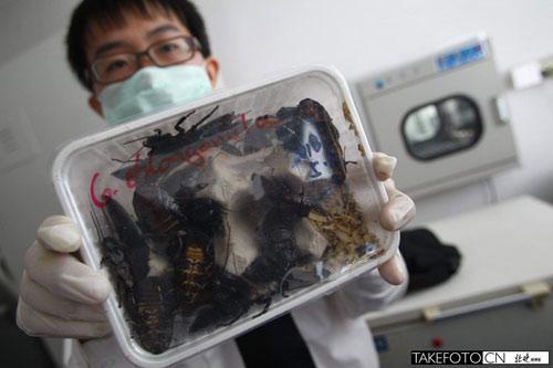 这些蟑螂个个都有打火机那么大。(图:北京晚报)