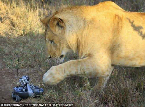母狮子发现了这台移动相机。