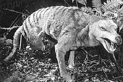 10. 袋狼(Tasmanian Tiger)-科学家拟复活24种已灭绝动物 恐龙无望