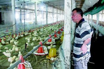 14日下午,正和养鸡场内,8个养鸡大棚内已经放满了新进的10万只鸡苗。