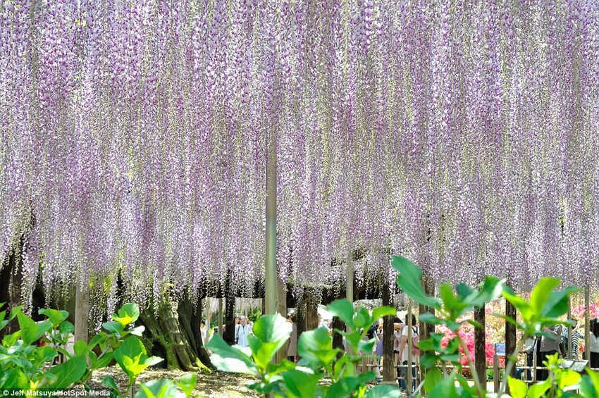 英国《每日邮报》5月14日刊登了一组令人赏心悦目的紫藤图片,图片所展示的美景就像出自童话世界一般梦幻。报道称,这些紫藤让日本足利花卉公园的游客享受到了一场视觉盛宴。