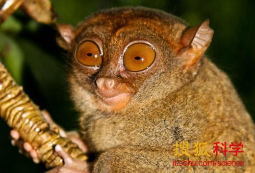 3,眼镜猴