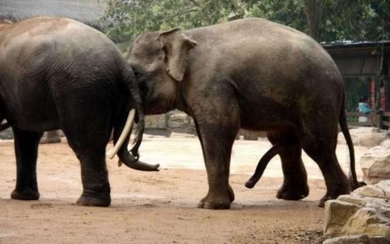 性鸡巴1_实拍罕见动物性行为:令人瞠目的大象交配(图)(1)_科学