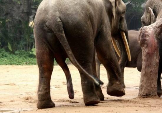 人与动物性行为_实拍罕见动物性行为:令人瞠目的大象交配(图)(1)_科学