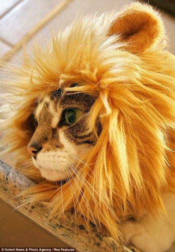 """专为猫咪设计的""""狮子头套""""。"""