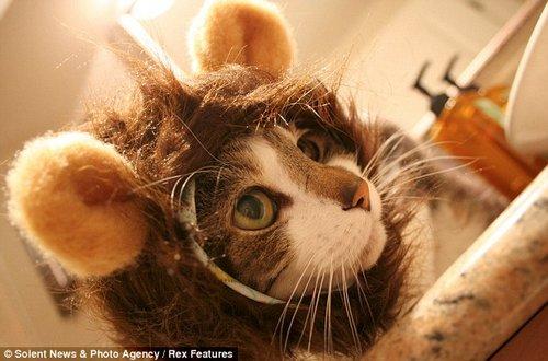 戴着新型头套的猫咪。