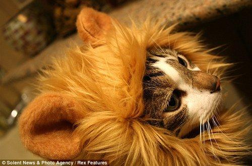 戴着狮子头套的小猫咪。