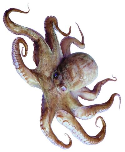 图片是头足类动物章鱼.古代画老虎后代图片