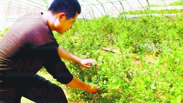 蓝莓种植基地的工作人员张先生正在查看蓝莓生长情况。