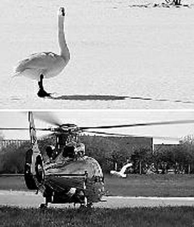 据BBC报道,英国泽西岛一只天鹅因爱上直升机,将被再