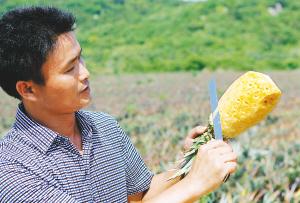 图为海南太阳岛农业科技开发有限公司总经理呙中安手拿台农17号菠萝,边削皮边介绍这一新品菠萝的特点。