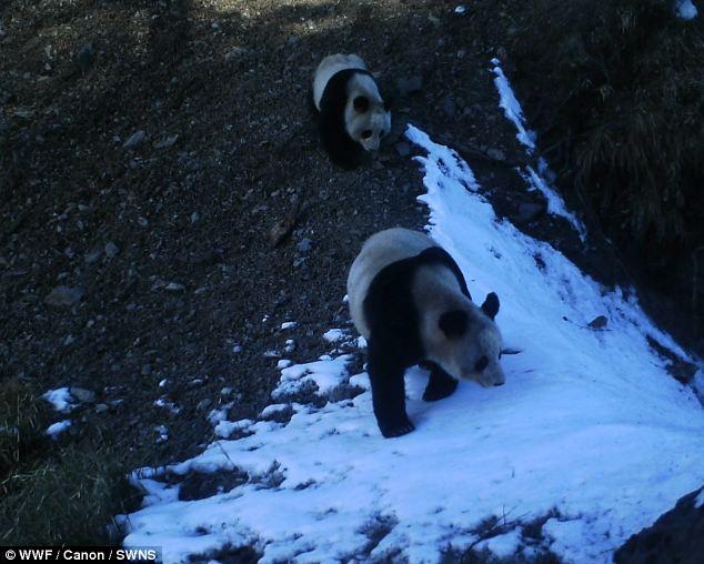 【环球网综合报道】据英国《每日邮报》5月22日报道,为迎接国际动物多样性日,世界自然基金会(WWF)公布了一组由隐藏镜头拍下的濒危珍稀动物生活照,可谓姿态百千。   据了解,100多架红外相机分别被放置在6大自然保护区,同当地林业局合作完成了此次拍摄。在图片中亮相的大熊猫、小熊猫、西藏短尾猴、羚牛以及金钱豹等,都被WWF列入濒危动物名录。其中有关大熊猫的照片,便是取自中国四川省的大熊猫保护区。大熊猫作为野生动物保护的旗舰物种,对于其他稀有动物的保护工作也起到了积极的带动作用。   通过隐藏相机进行