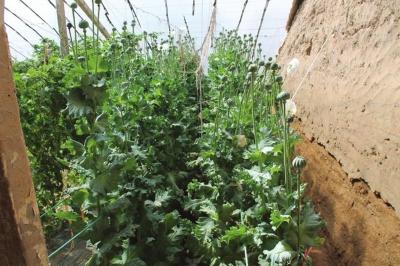 塑料大棚里种罂粟(图)图片