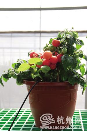 直立型小番茄