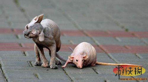 """全球""""裸奔""""动物盘点:秃毛黑猩猩长相丑陋(图)(1)_科学探索_光明网"""